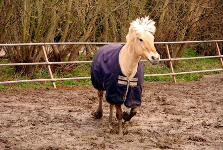 isabel: A Fjord horse trotting in the paddock Stock Photo