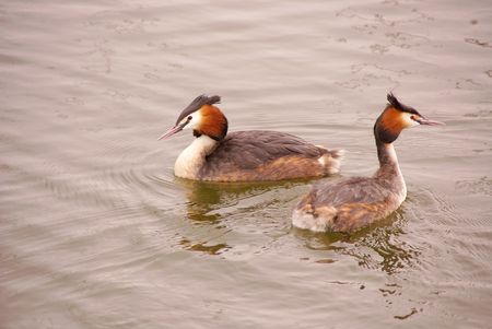 Two great crested grebes