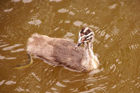 A young great crested grebe photo