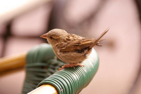 A young franf sparrow at the backside of a chair Stock Photo