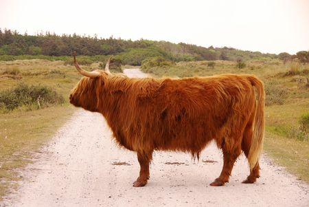 coo: Scottisch highland cow Stock Photo