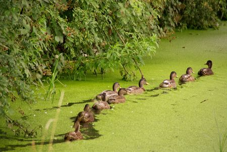 feathe: Mallards in a row in a ditch with duckweed Stock Photo
