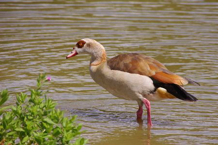 An egyptian goose standing in the water photo