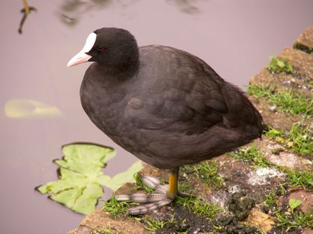 A Coot at the waterfront photo