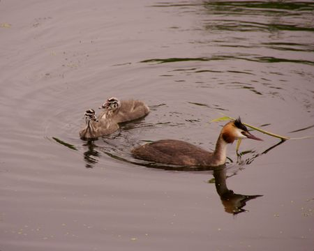 youngs: A great crested grebe with two youngs