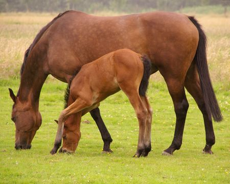 A foal tries to graze with his long legs and short cervix photo