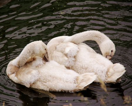 olur: Two young mute swans making their toilet Stock Photo