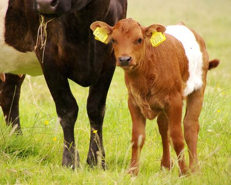 A dutch belted brouwn calf with a black mother Stock Photo - 3336256