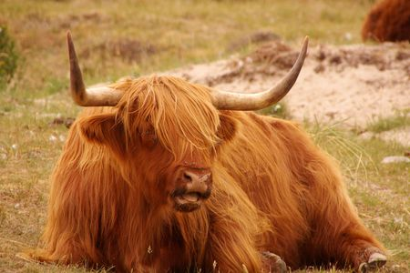 coo: A scottisch highland cow in the dunes Stock Photo