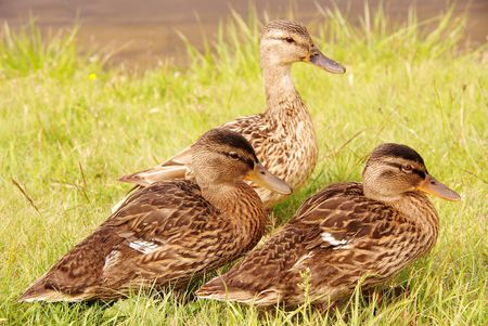 An adult and two young mallards photo