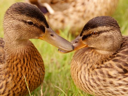 Portrait of two young mallards photo