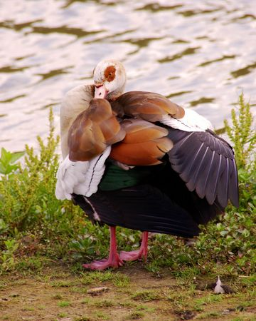 An Egyptian goose at the waterfront photo