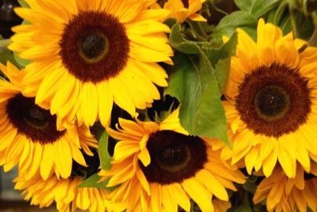 Sunflowers Stock Photo - 3365267