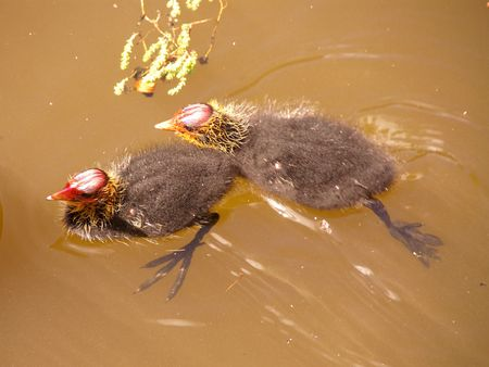 Two young coots photo