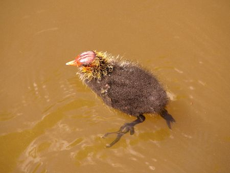 a young coot photo