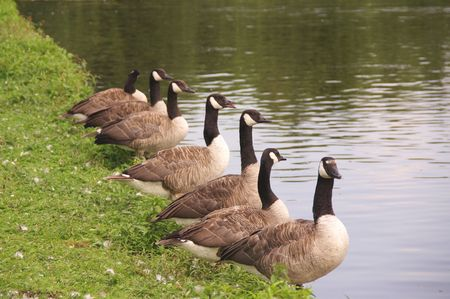 Canada geese at the waterfront Stock Photo - 3369218