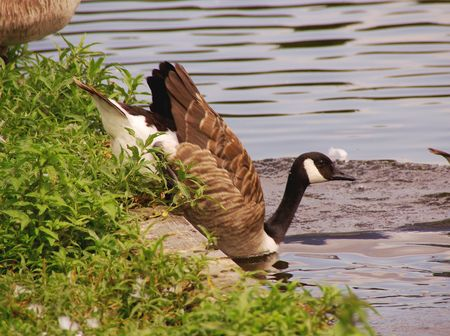 Canada geese at the waterfront photo