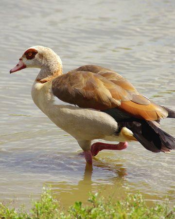 An Egyptian goose photo