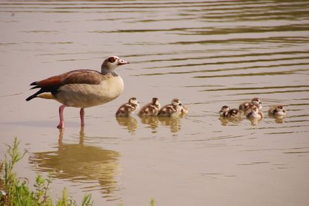 Egyptian goose with young ones photo