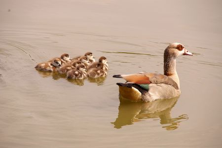 An Egyptian goose with young ones photo