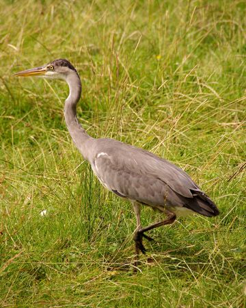 A grey heron in the grass photo