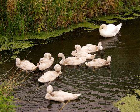 honouring: Young mute swans