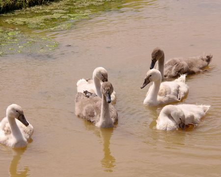 percept: Young mute swans
