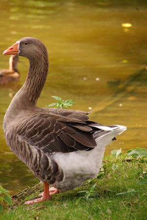 greylag: A goose at the waterfront Stock Photo