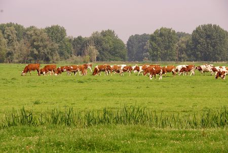Cows in a meadow Stock Photo - 3389075
