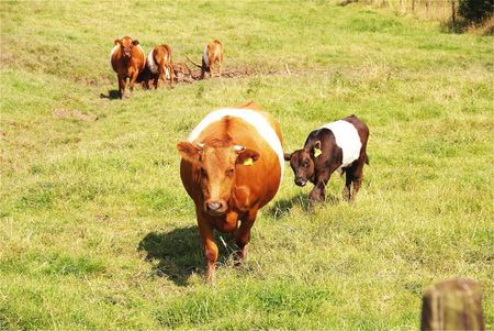 A dutch belted cow with a calf photo