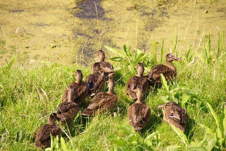 Young mallards at the waterfront of a ditch Stock Photo - 3389110
