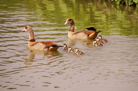 Egyptian geese with young ones Stock Photo - 3392595