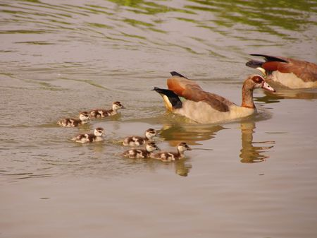 Egyptian geese with young ones photo