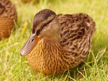 A young mallard in the grass Stock Photo - 3395639