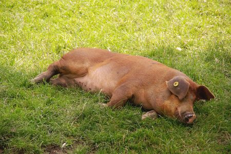county side: A sleeping pig Stock Photo