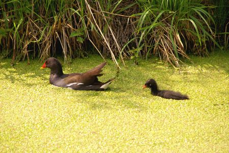 expended: A litle crake with a young one between duckweed
