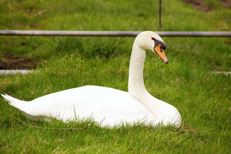 olur: A watching mute swan