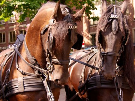 omnibus: Two horses of a carriage and pair