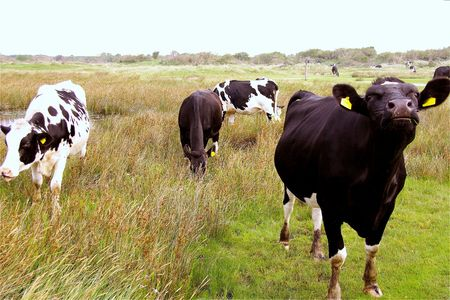 Cows grazing in the vegetated mud flat of a tidal marsh photo