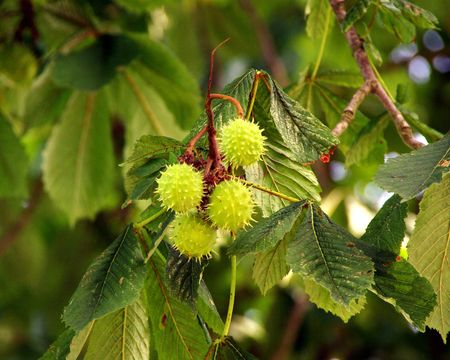 roughage: chestnuts in aq chestnut tree in summer