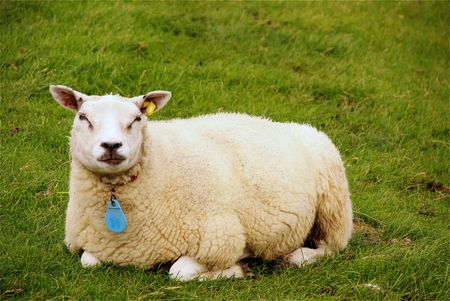grown up: A grown up lamb lying in the grass