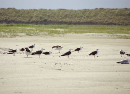 Herring and black-backet gulls at the beach photo