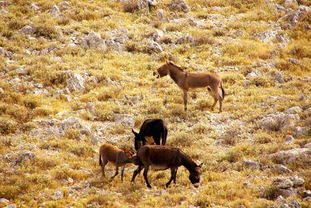 kornat: Donkeys at a hill in Croatia