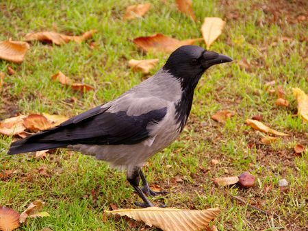 A hooded crow in autumn photo
