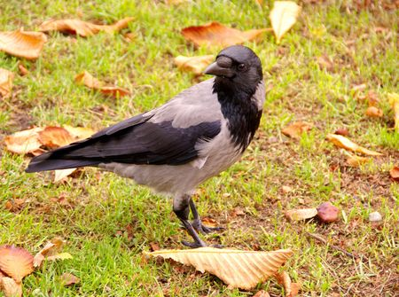 birdwatching: A hooded crow in autumn