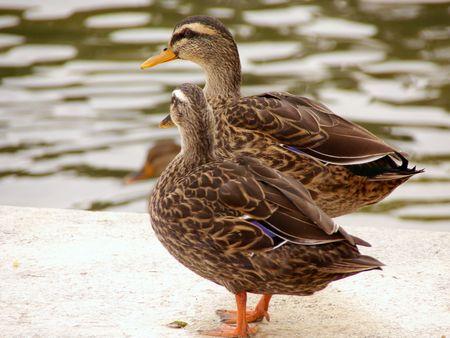 Tho female mallards at the waterside Stock Photo - 3895362
