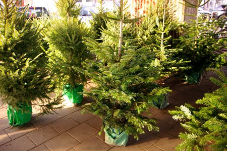 Christmas trees for sale photo