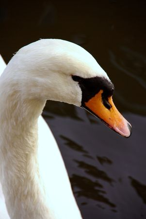 olur: a portrait of a mute swan Stock Photo