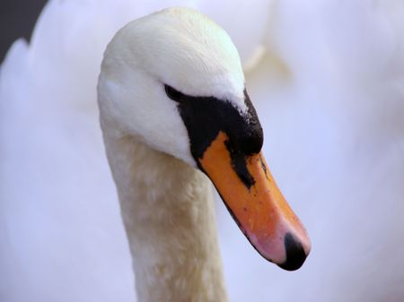 bowing head: a portrait of a mute swan Stock Photo