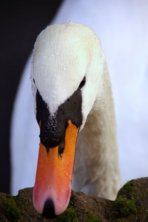 honouring: a portrait of a mute swan Stock Photo